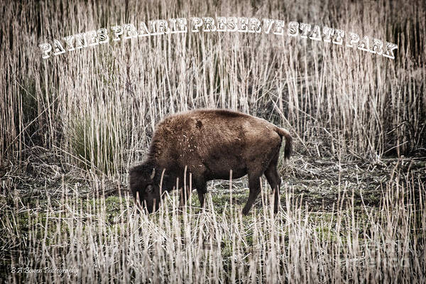 Photograph - Lone Buffalo by Barbara Bowen