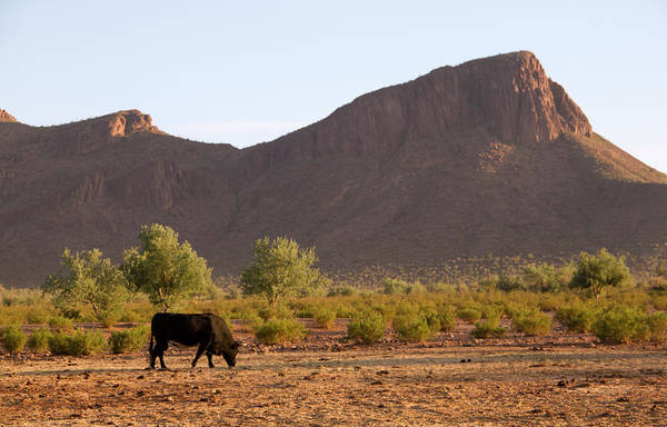 Ranch Photograph - Lone Bull At White Stallion Ranch In by Mark Polott