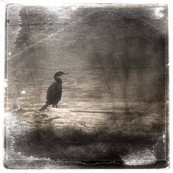Wall Art - Photograph - Lone Cormorant by Carol Leigh