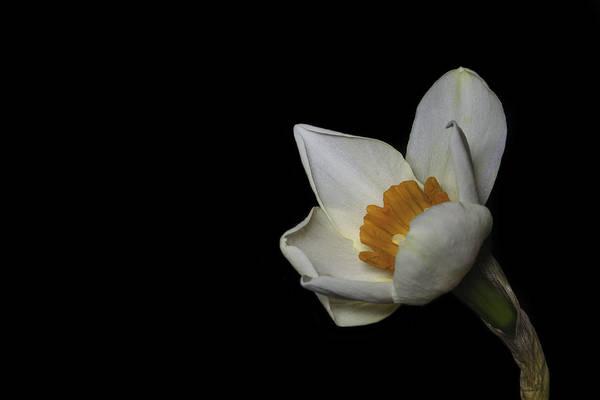 Wall Art - Photograph - Lone Daffodil by Nigel Jones