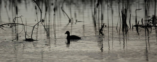 Photograph - Lone Duck by Kevin  Dietrich