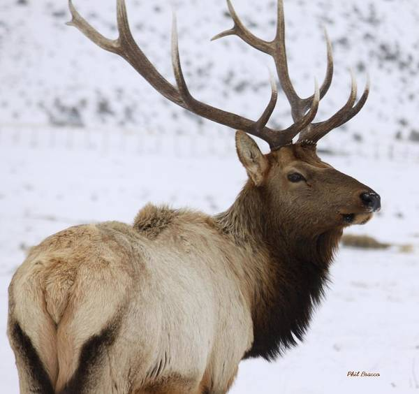 Photograph - Lone Elk by Philip Bracco