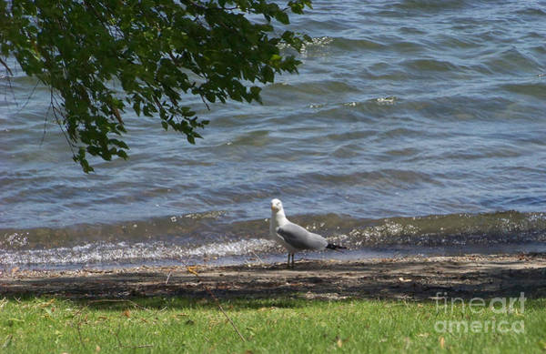 Photograph - Lone Gull by Charles Robinson