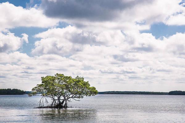 Photograph - Lone Mangrove by Adam Pender