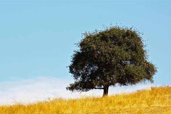 Photograph - Lone Oak by Diana Hatcher