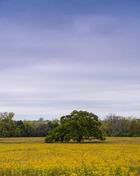 Photograph - Lone Oak In A Field Of Phlox - Industry Texas by Silvio Ligutti