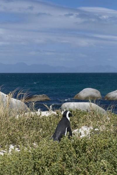 Wall Art - Photograph - Penguin Walk by Sarah-jane Laubscher