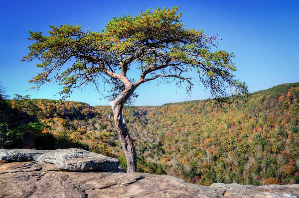 Wall Art - Photograph - Lone Pine At Buzzard Point by Douglas Barnett