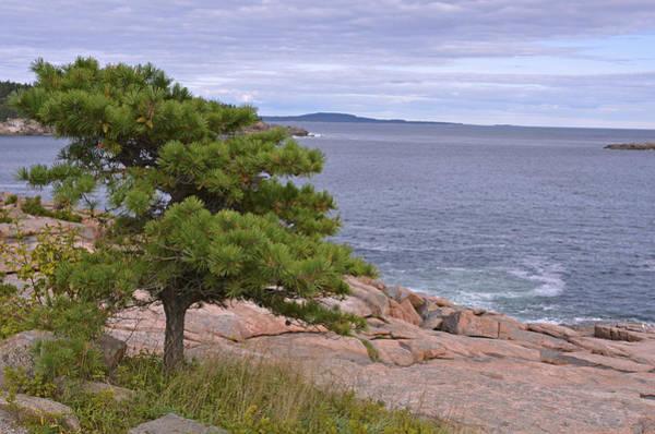 Photograph - Lone Pine Over The Sea by Lynda Lehmann