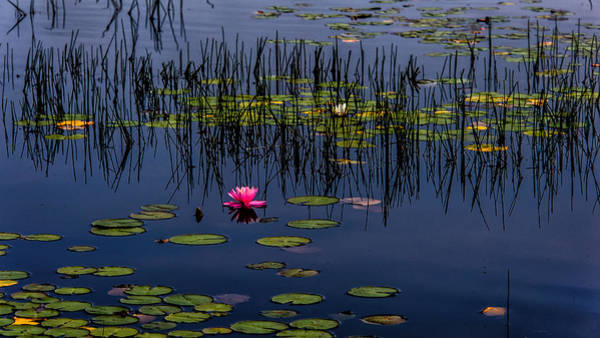 Photograph - Lone Pink Water Lily  by Louis Dallara