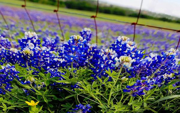 Texas Bluebonnet Digital Art - Lone Star State Of Blue by Carrie OBrien Sibley