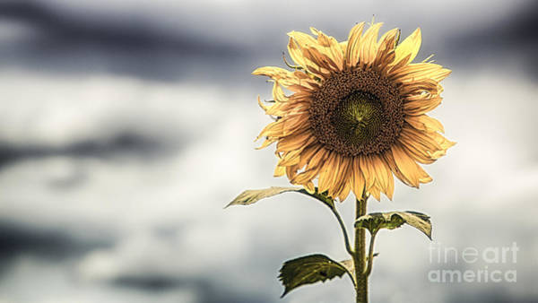 Wall Art - Photograph - Lone Sunflower by Nigel Jones