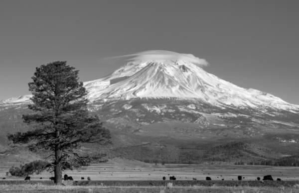 Photograph - Lone Tree And Mount Shasta Monochrome by Loree Johnson