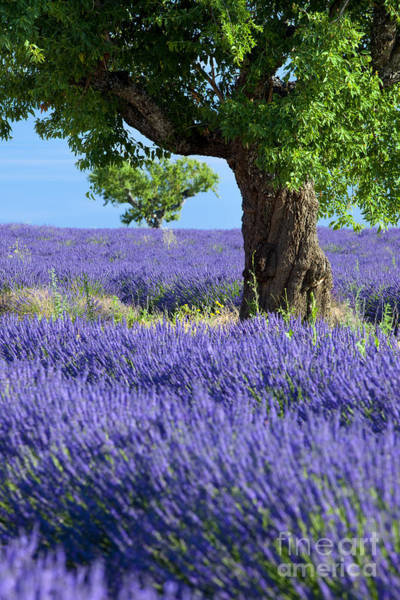 Art Print featuring the photograph Lone Tree In Lavender by Brian Jannsen