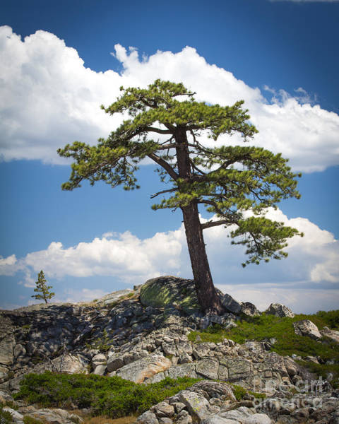Photograph - Lone Tree by Vincent Bonafede