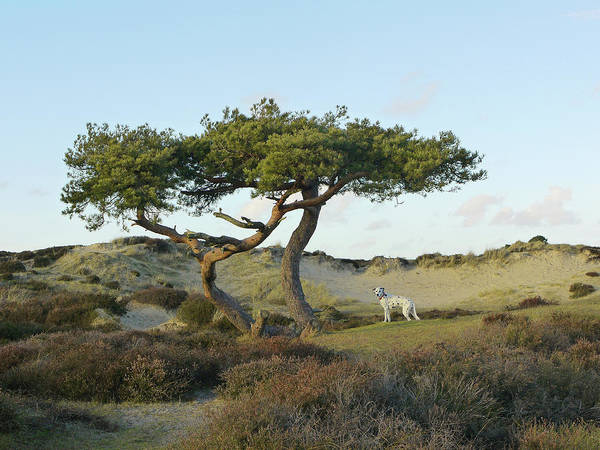 Dalmatian Dog Photograph - Lone Wind Sculpted Pine By The Sea by Kathy Collins