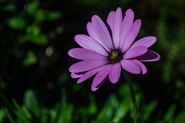 Photograph - Lonely African Daisy by Scott Lyons