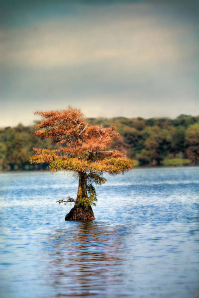 Photograph - Lonely Little Cypress Tree by Jai Johnson