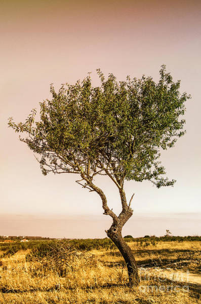 Olives Photograph - Lonely Tree by Carlos Caetano