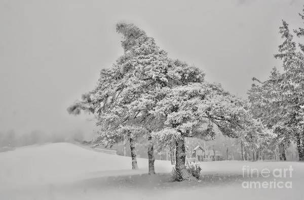 Photograph - Lonely Winter Pinetree by Jim Lepard