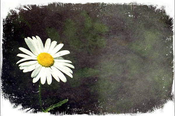 Photograph - Lonesome Daisy by Jorge Perez - BlueBeardImagery