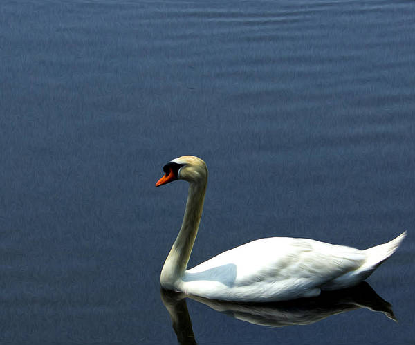 Photograph - Lonesome Swan by Jorge Perez - BlueBeardImagery