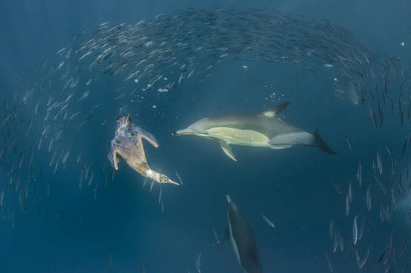 Bait Ball Photograph - Long-beaked Common Dolphins And Cape by Pete Oxford
