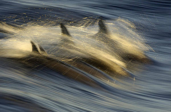 Photograph - Long-beaked Common Dolphins Porpoising by Malcolm Schuyl