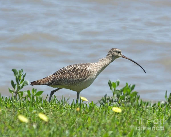 Photograph - Long Billed Curlew At Palacios Bay Tx by Lizi Beard-Ward