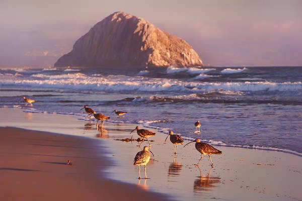 Sandpiper Photograph - Long Billed Curlew - Morro Rock by Nikolyn McDonald