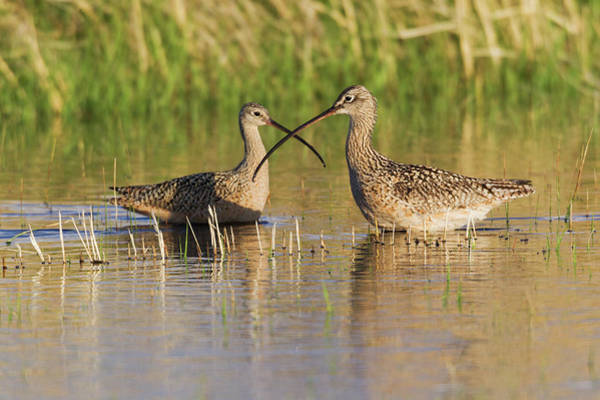 Courtship Photograph - Long-billed Curlew Pair by Ken Archer