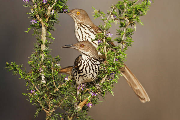 Brown County Photograph - Long-billed Thrasher (toxostoma by Larry Ditto
