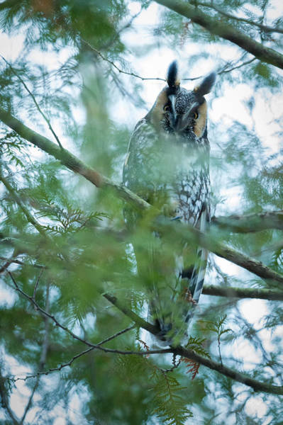 Wall Art - Photograph - Long-eared Owl 2 by Everet Regal