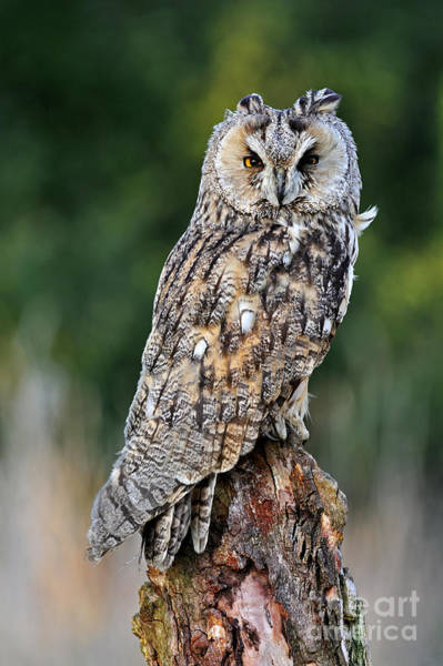 Photograph - Long-eared Owl 4 by Arterra Picture Library