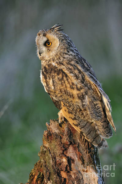 Photograph - Long-eared Owl 8 by Arterra Picture Library
