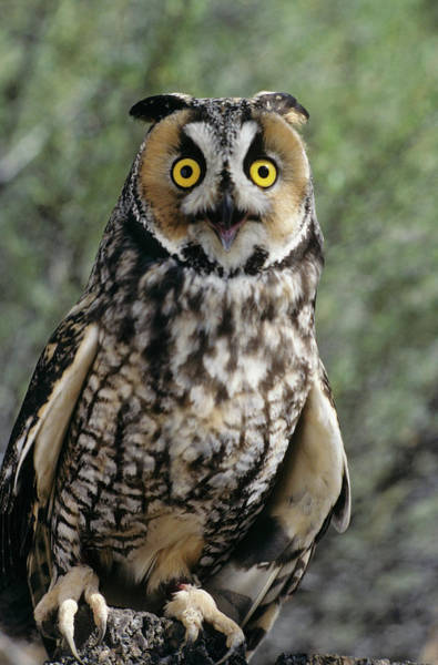 Hoot Wall Art - Photograph - Long Eared Owl Asio Otis Europe, Asia by Vintage Images
