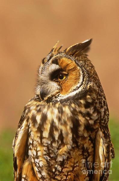 Photograph - Long-eared Owl Asio Otus by Art Wolfe