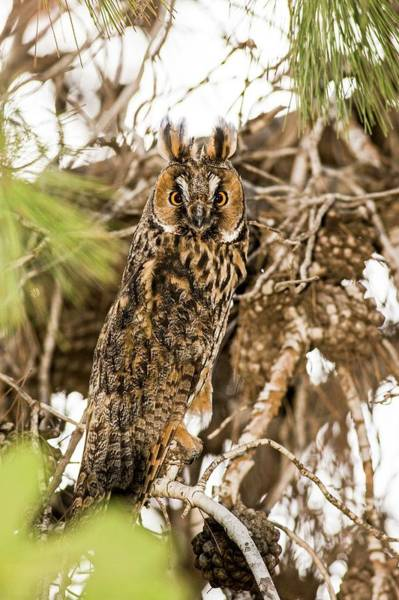 Strigidae Photograph - Long-eared Owl Asio Otus by Photostock-israel