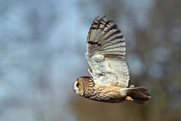 Owl In Flight Photograph - Long-eared Owl In Flight by Linda Wright/science Photo Library