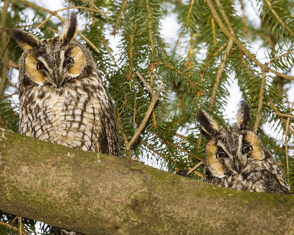 Photograph - Long Eared Owl by Jack R Perry
