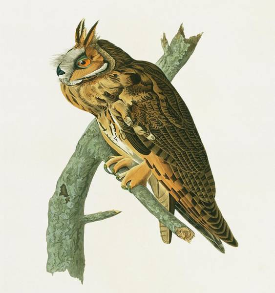 Aquatint Photograph - Long Eared Owl by Natural History Museum, London/science Photo Library