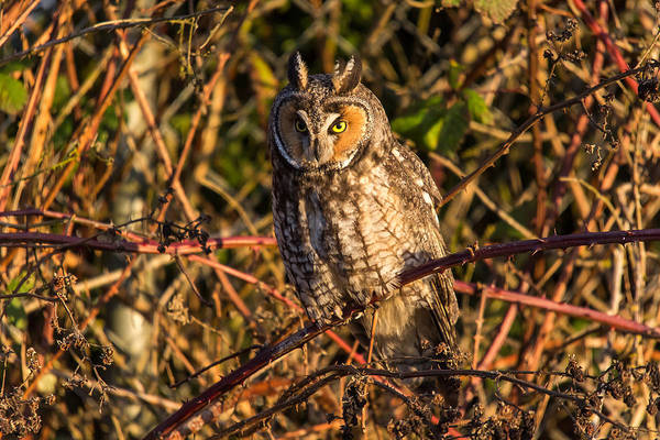 Photograph - Long Eared Owl by Pierre Leclerc Photography