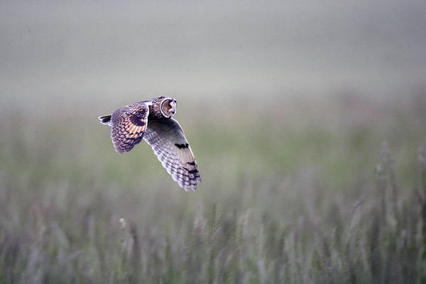 Long-eared Owl Art Print