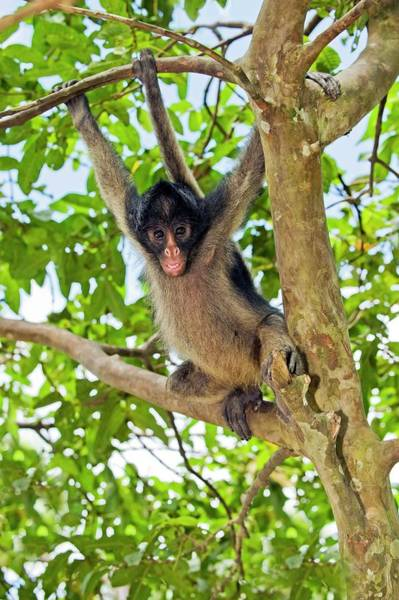 Long Tail Photograph - Long-haired Spider Monkey by Tony Camacho/science Photo Library
