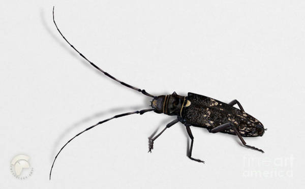 Longhorn Painting - Long-hornded Wood Boring Beetle Monochamus Sartor - Coleoptere Monochame Tailleur - by Urft Valley Art