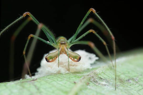 Orb Weaver Photograph - Long-jawed Orb Weaver And Eggs by Melvyn Yeo