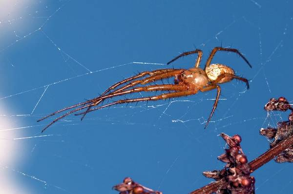 Spiderweb Photograph - Long-jawed Orb-weaver Spider by Dr. John Brackenbury/science Photo Library