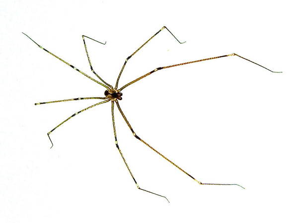 Photograph - Long-legged Spider by Marc Philippe Joly