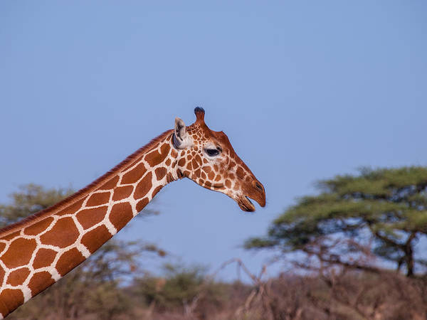 Photograph - Long Neck by Jim DeLillo