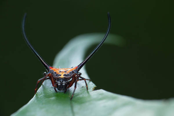 Orb Weaver Photograph - Long-spine Orb-weaver Spider by Melvyn Yeo/science Photo Library